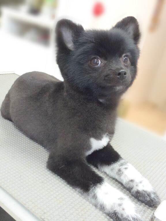 ポメラニアンの今や定番にもなりつつあるほど大人気な柴犬カット